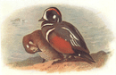 BRITISH BIRDS: Harlequin-Ducks. THORBURN; vintage print 1925
